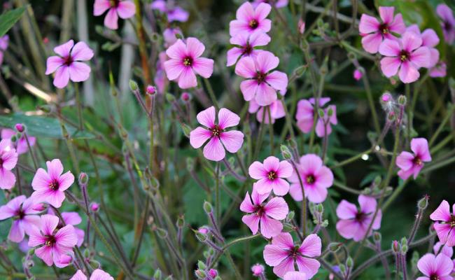 Bunga kerenyam (Pelargonium spp)